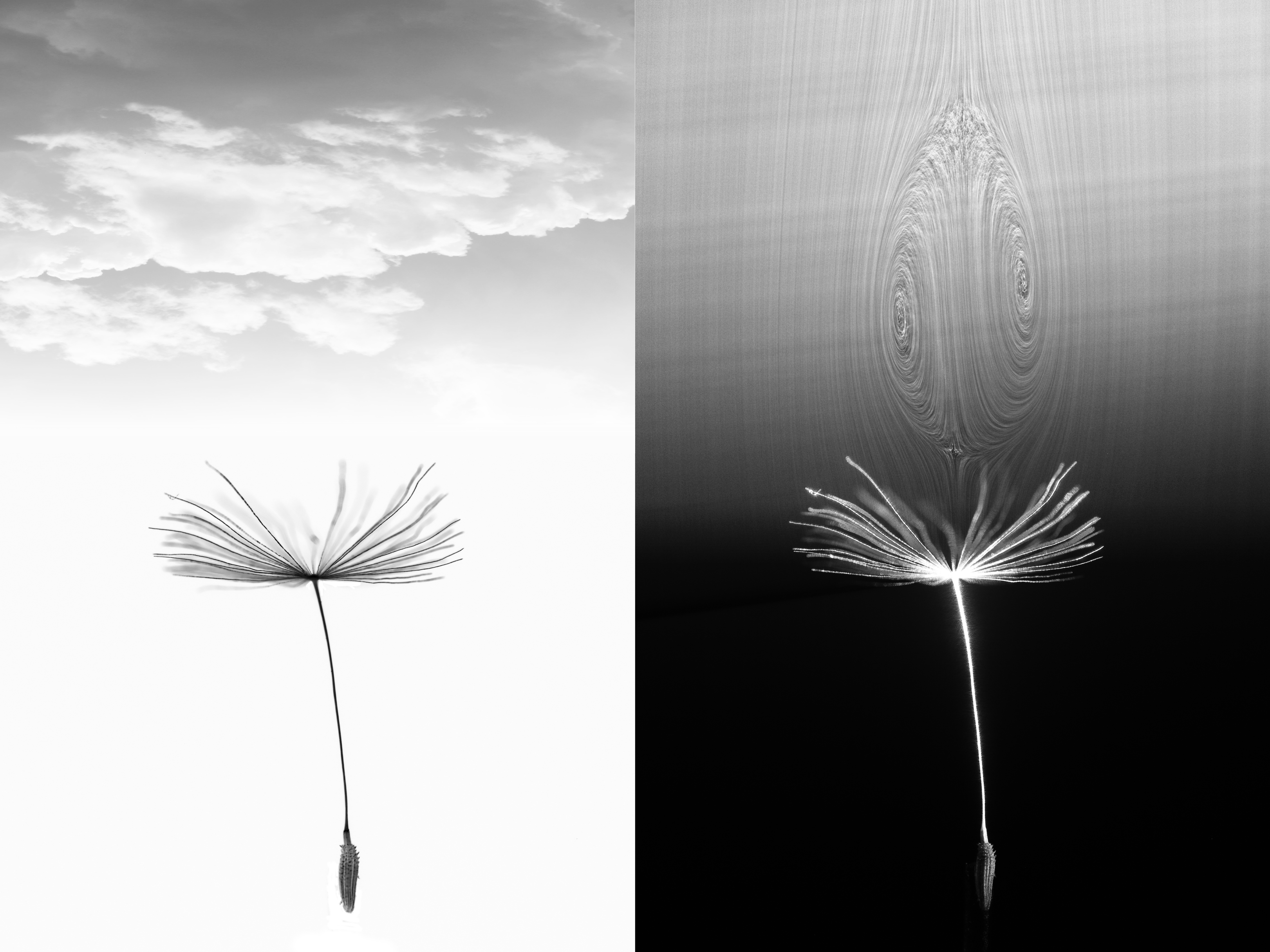 (Left) A dandelion seed in a wind tunnel, with added clouds for effect. (Right) The same dandelion with the flow around it visualised using a laser sheet (contrast enhanced), showing the formation of a drag-enhancing vortex unlike any other observed before in nature, which we term a 'halo' vortex.